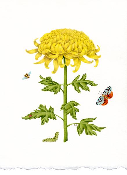 Sylvie_chrysanthemum